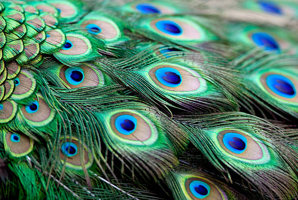 Peacock Feathers Peacock Feathers peacock feather stock pictures, royalty-free photos & images