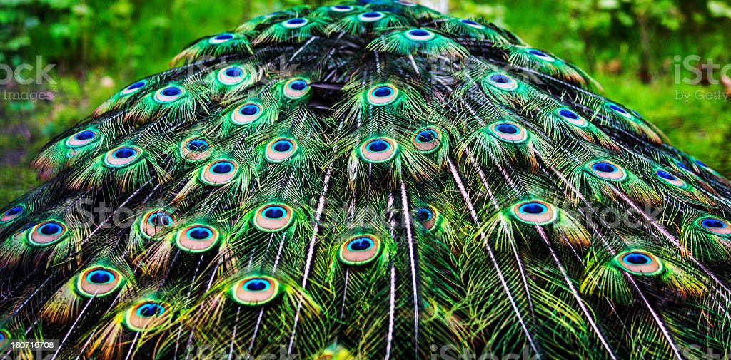 Peacock Feathers Stock Photo Download Image Now Istock