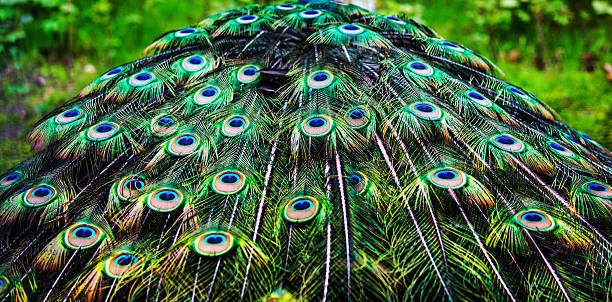 Peacock Feathers stock photo
