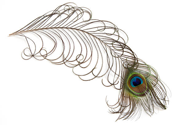 peacock Feathers  peacock feather stock pictures, royalty-free photos & images