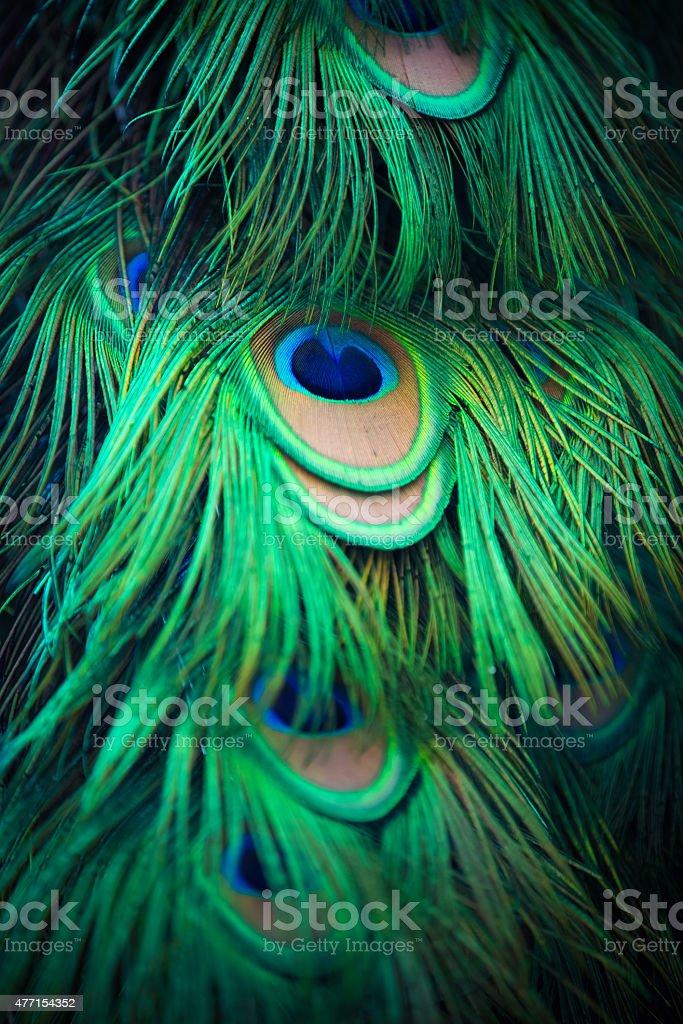 Peacock Federn – Foto