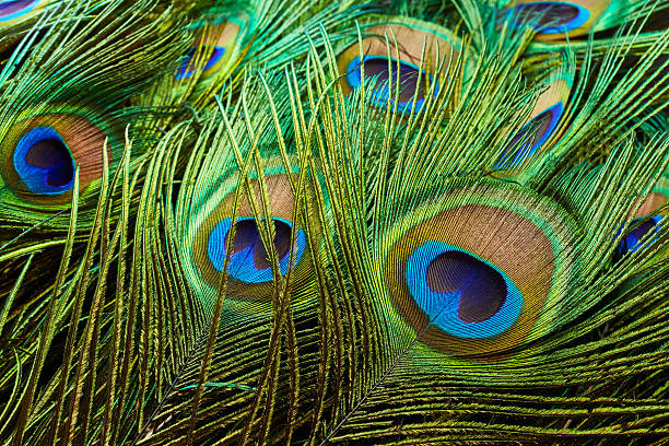 Peacock feathers Peacock feathers close up peacock feather stock pictures, royalty-free photos & images