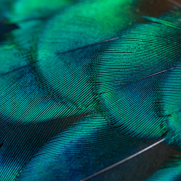 peacock feathers close-up peacock feathers peacock feather stock pictures, royalty-free photos & images