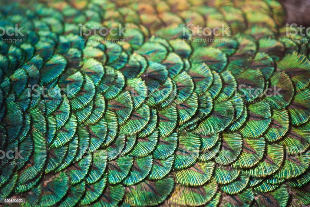 peacock feathers. stock photo