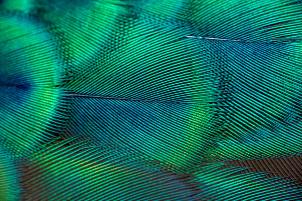 Peacock feathers Peacock feathers in closeup peacock feather stock pictures, royalty-free photos & images