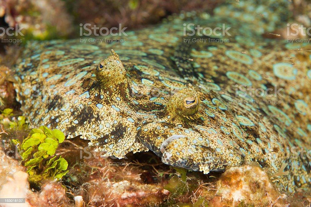 Peacock Flounder  royalty-free stock photo