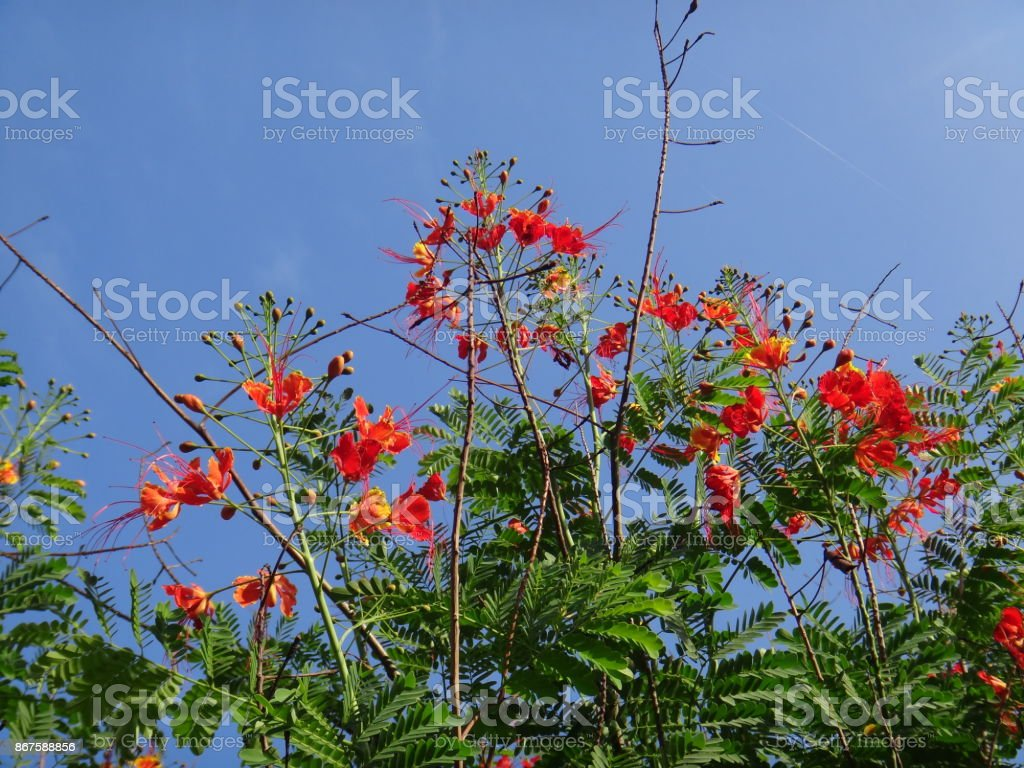 Peacock flower branches stock photo