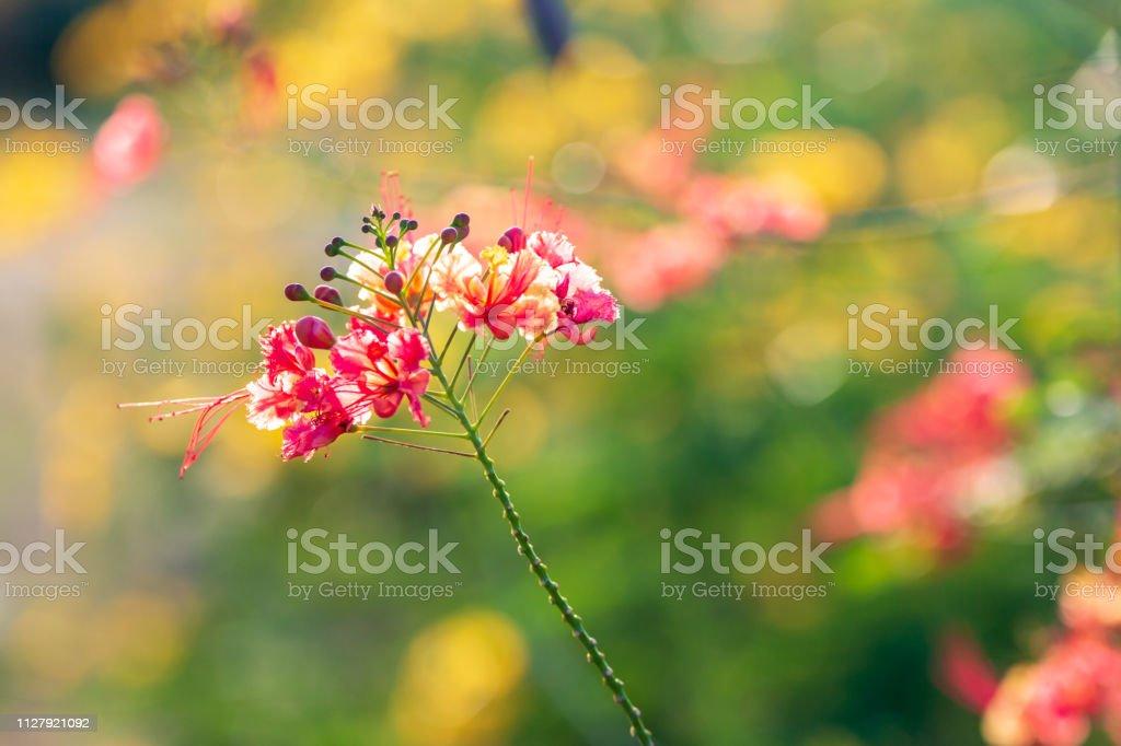 Peacock Flower – Foto