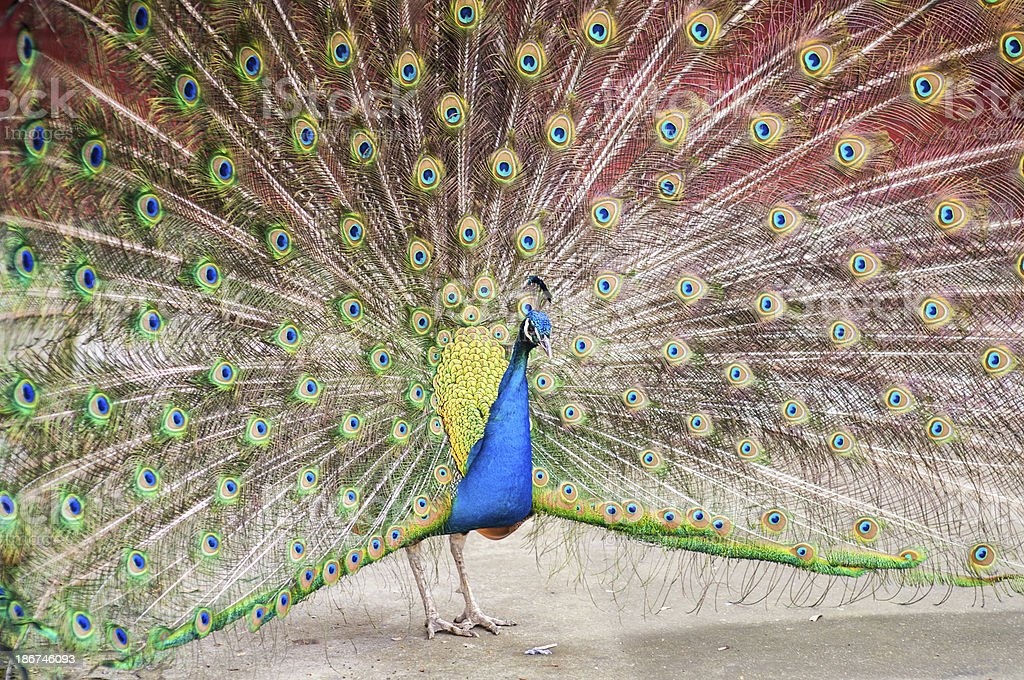 Peacock, frontal royalty-free stock photo