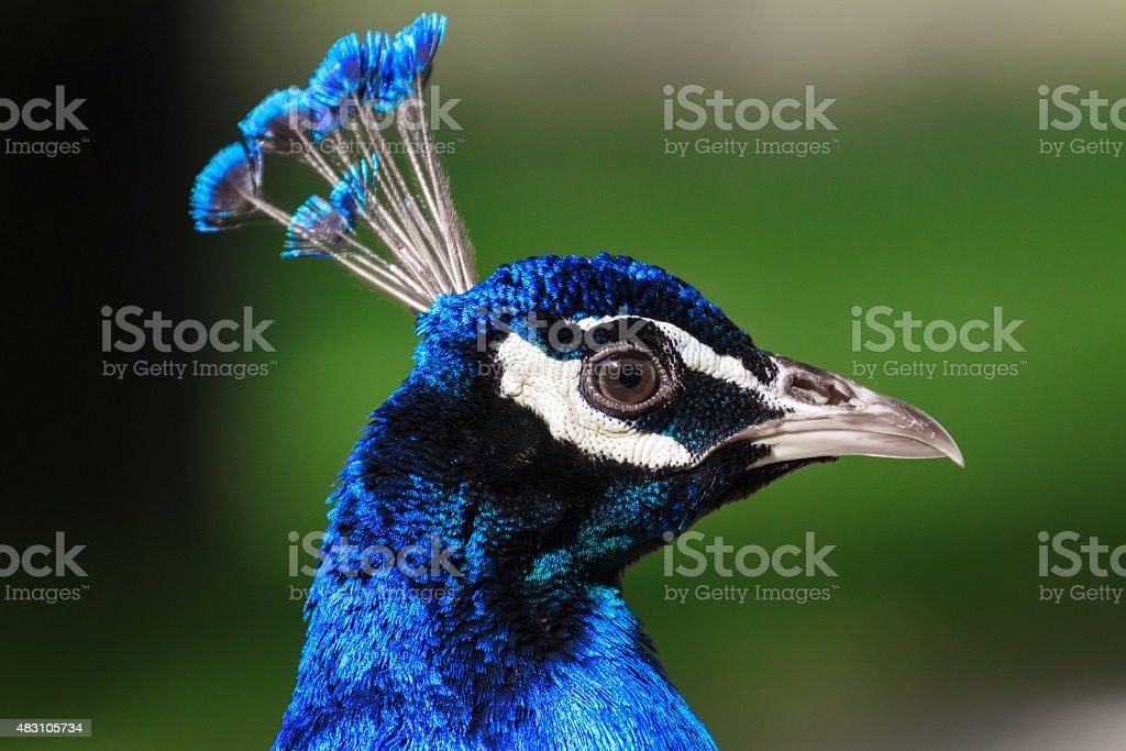 Cabezal de Peacock - foto de stock
