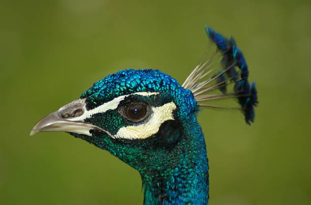 Peacock head stock photo