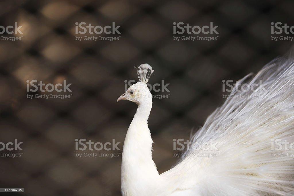 Peacock in Captivity stock photo