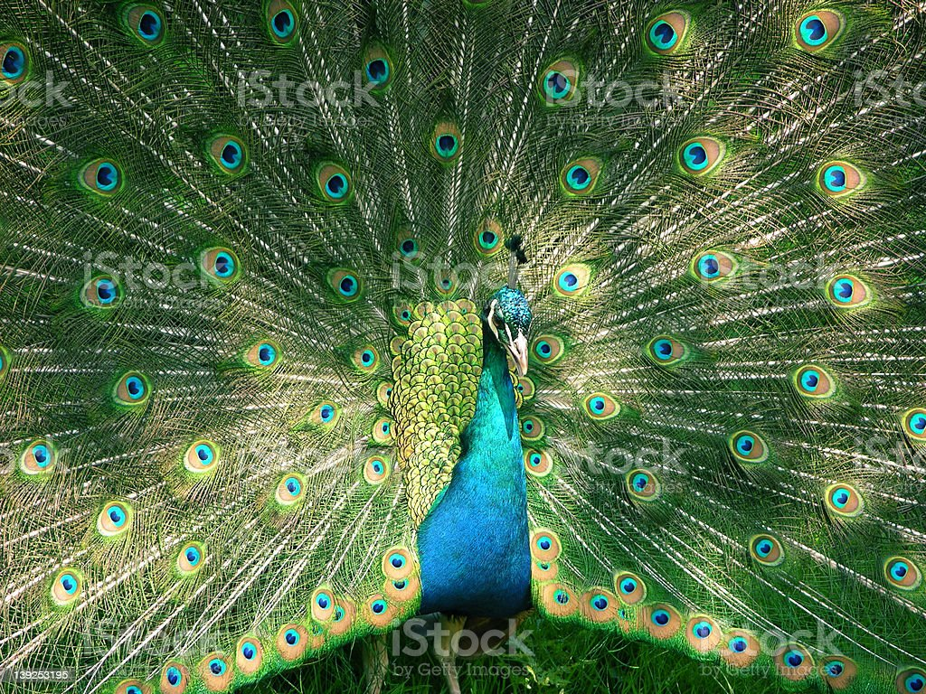 peacock in display royalty-free stock photo