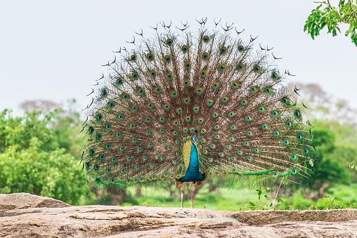 Peacock in natural habitat