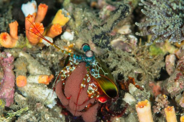 peacock mantis shrimp  with eggs - odontodactylus scyllarus stock photo