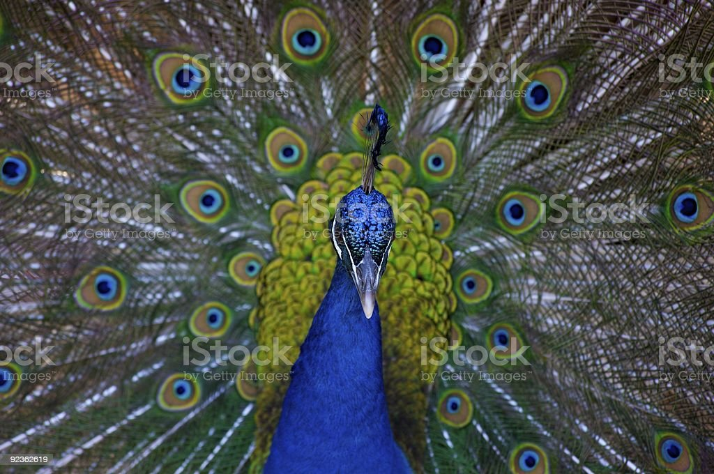 Peacock mating ritual royalty-free stock photo