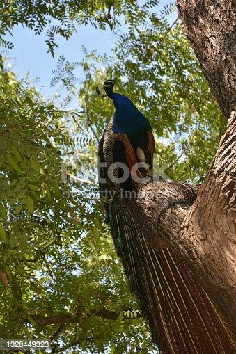 istock Peacock on a tree 1328449323