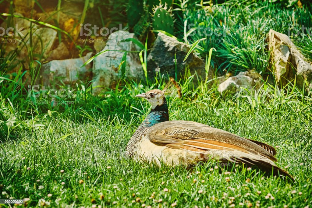 Peacock on the Ground royalty-free stock photo