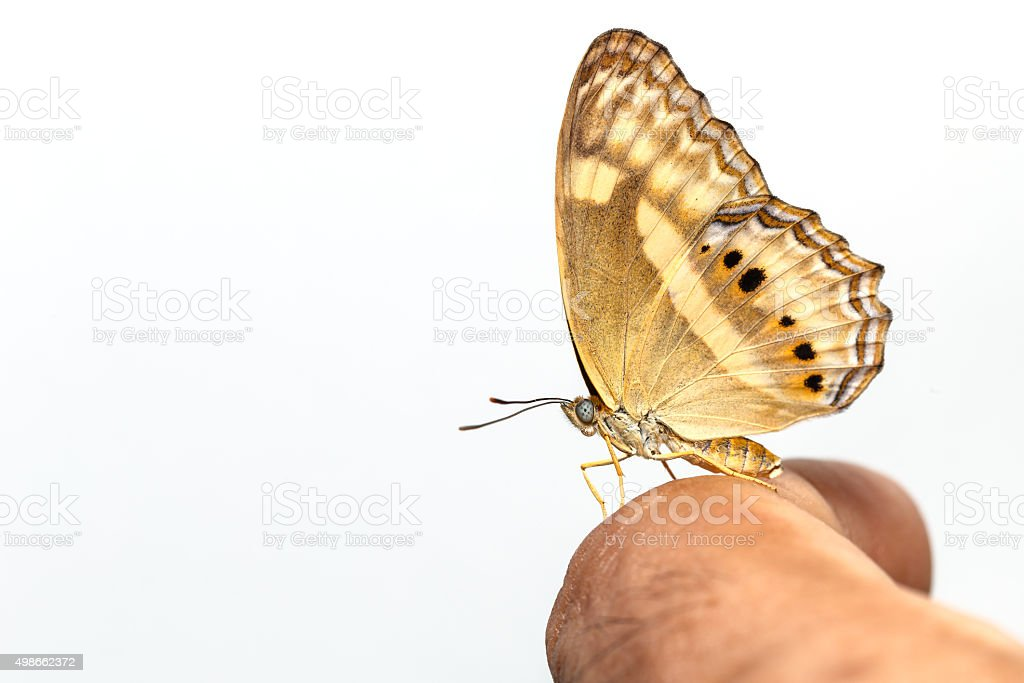 Peacock pansy butterfly on human finger stock photo