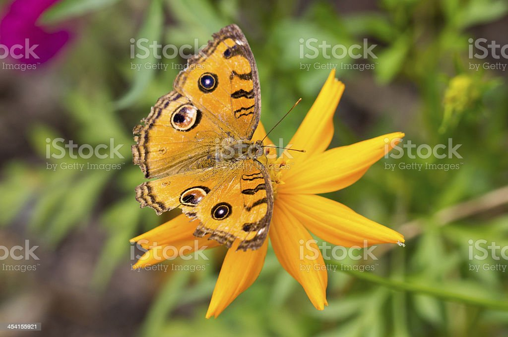 Peacock Pansy butterfly. stock photo