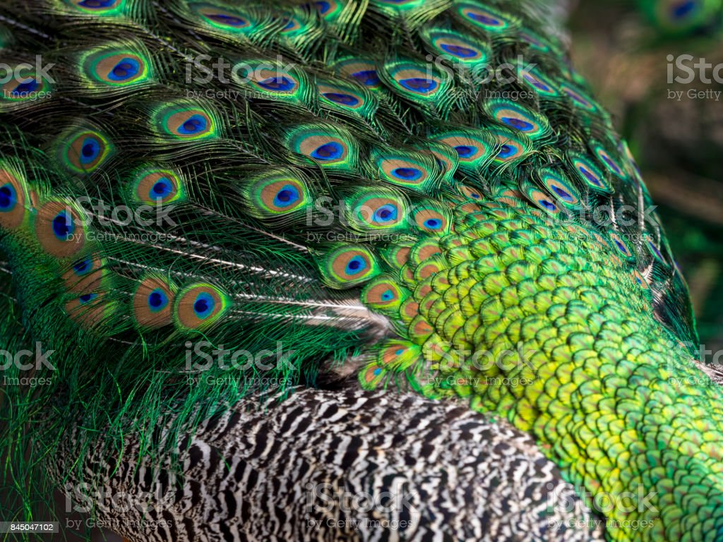 Peacock Peafowl Closeup Body Feathers Stock Photo Download Image Now Istock