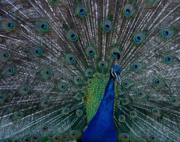 Peacock (close-up) stock photo