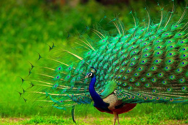 "Peacock ""The Indian Paecock, Pavo cristatus, displays its brilliant plumage - a splendid display of greens all around."" peahen stock pictures, royalty-free photos & images"