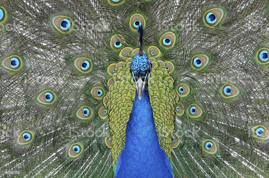 Peacock – Foto