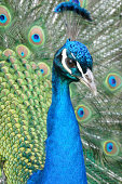 close up of a beautiful peacock displaying its feathers.See more peacocks here: