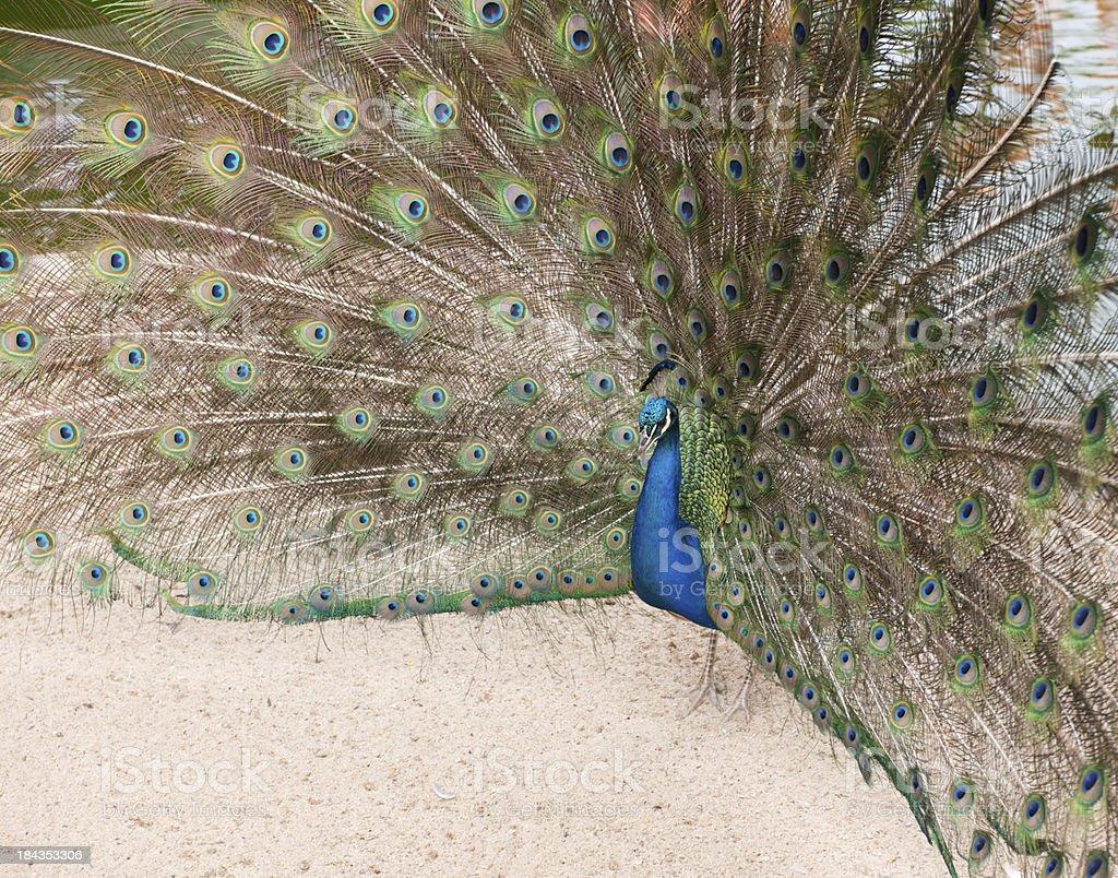 Peacock (XXXL – Foto