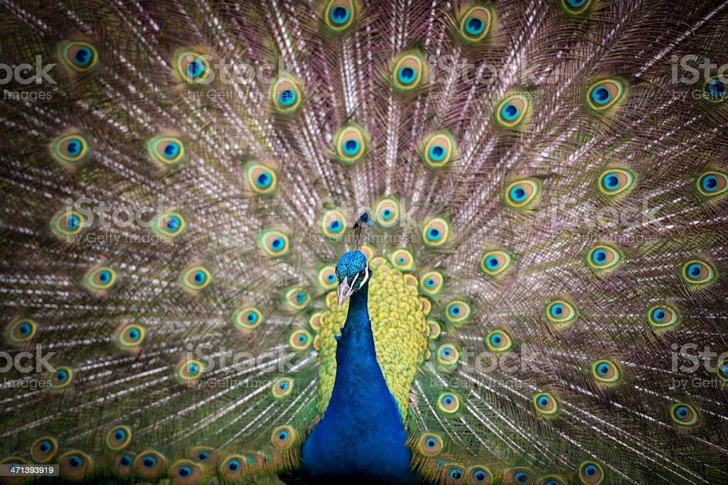 Peacock  - foto de stock
