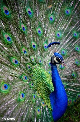 Peacock at Mayfield Park, Austin, TX