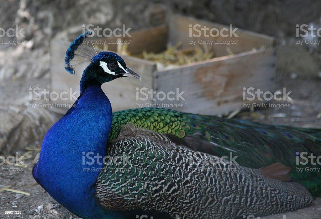 Peacock royalty-free stock photo