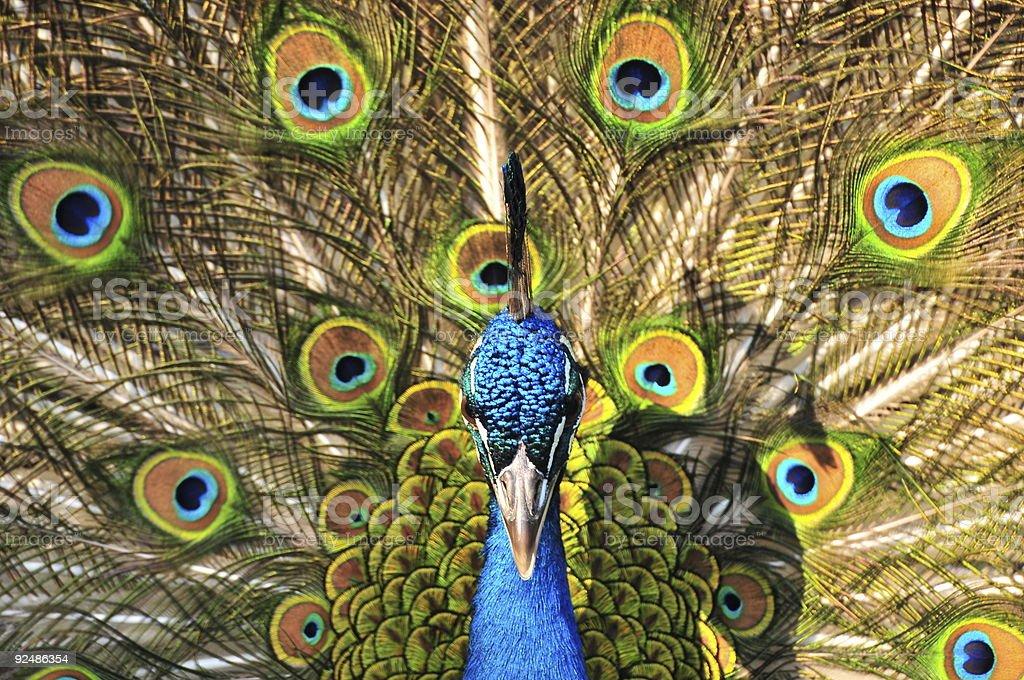 Peacock Lizenzfreies stock-foto