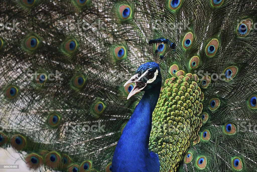 peacock royalty-free stock photo