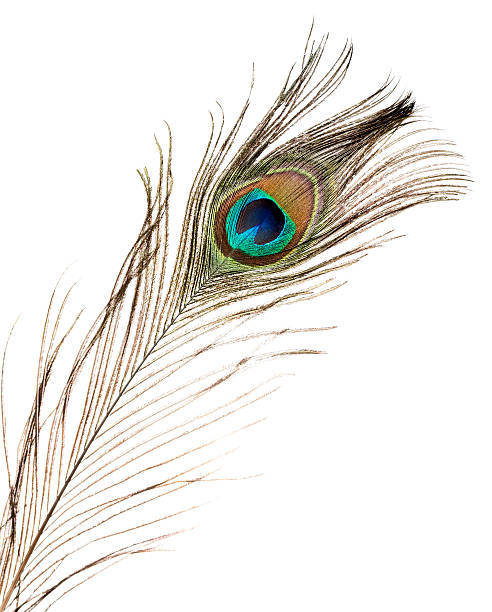 Peacock plume on white close-up Peacock plume, isolated on white. peacock feather stock pictures, royalty-free photos & images
