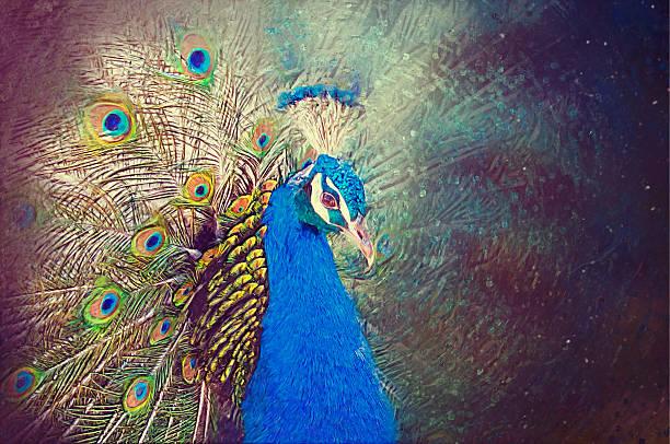 peacock porträt. gezeichnete illustrationen. - pfau bilder stock-fotos und bilder