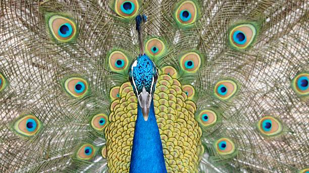 Peacock Portrait with fanned tail stock photo
