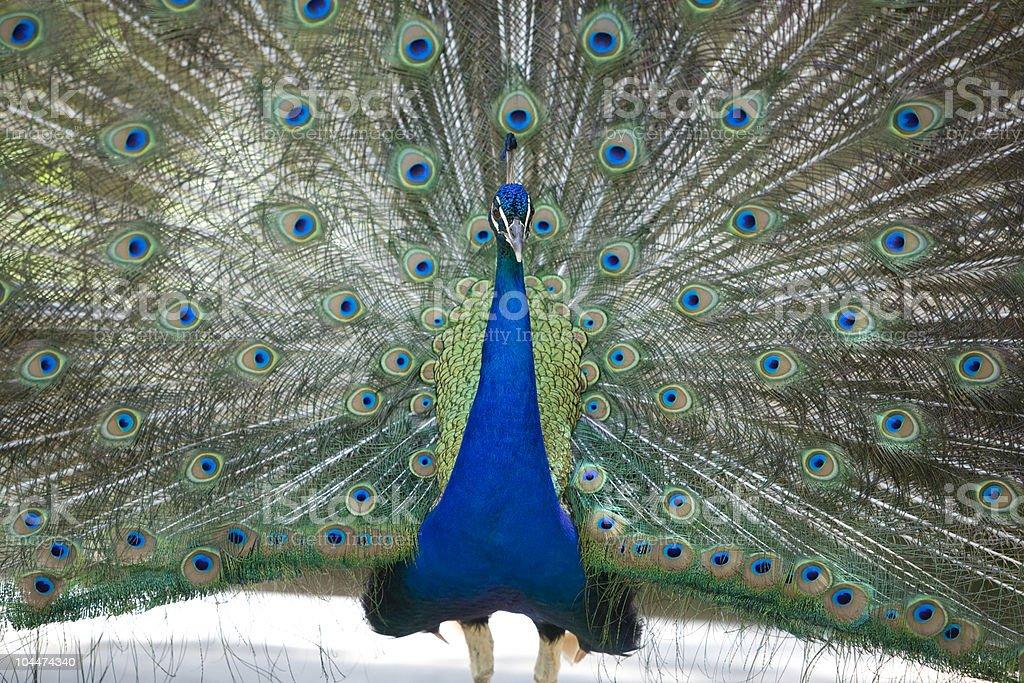 Peacock präsentieren – Foto