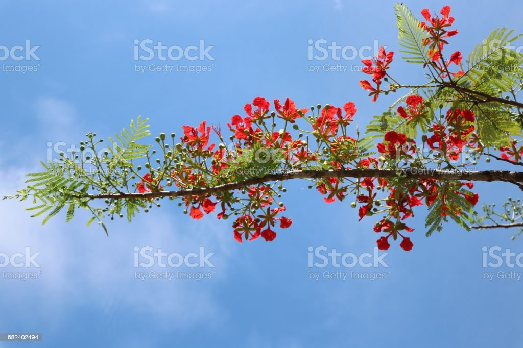 Peacock red flowers on blue sky background royalty-free stock photo