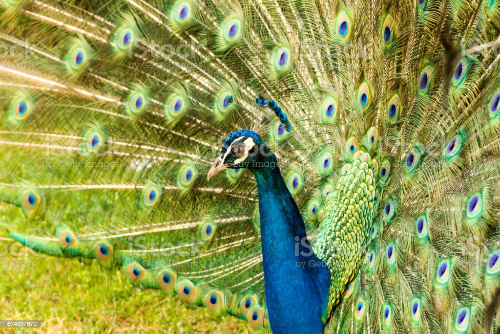 Peacock showing beautiful feathers royalty-free stock photo