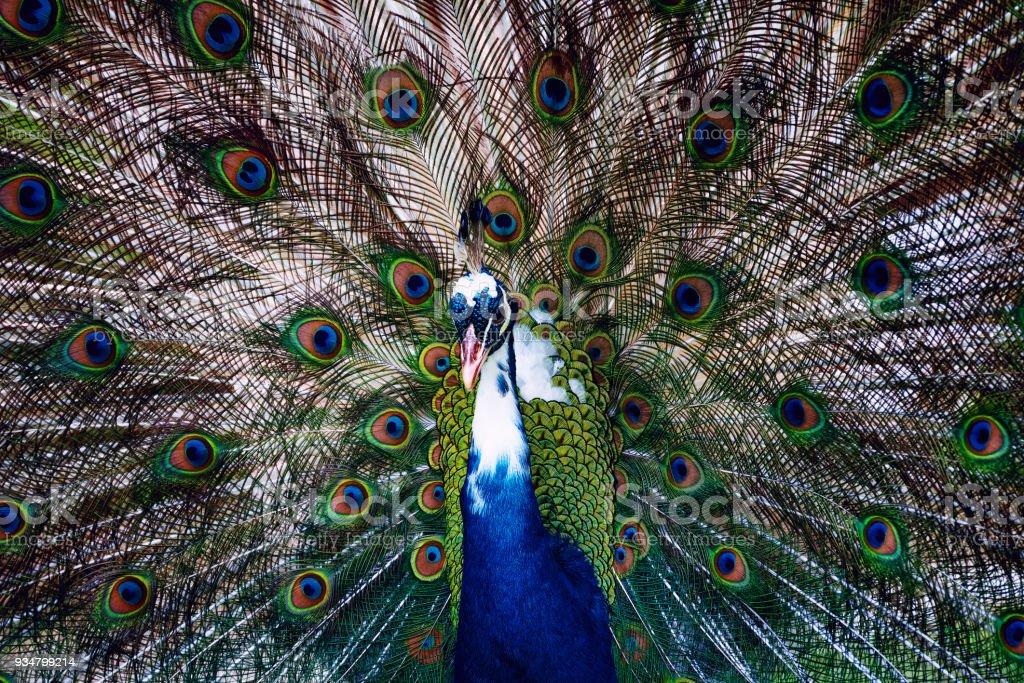 그의 밝은 꼬리 보여주는 공작 - 로열티 프리 공작 깃털 스톡 사진