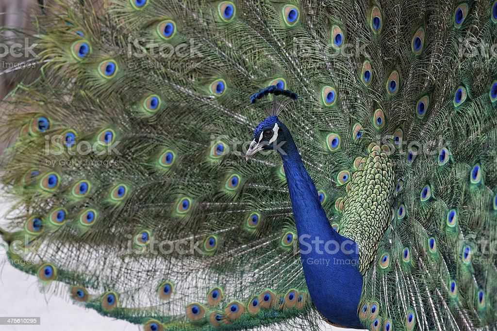 Peacock Showing off its Feathers stock photo