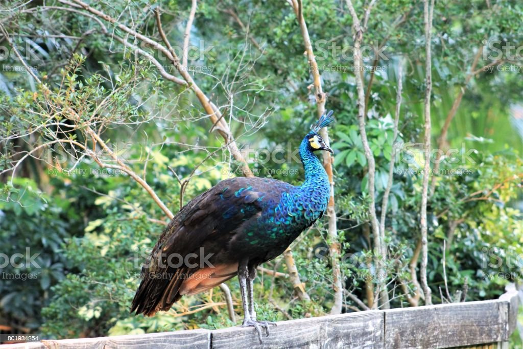 Peacock standing on a fence stock photo