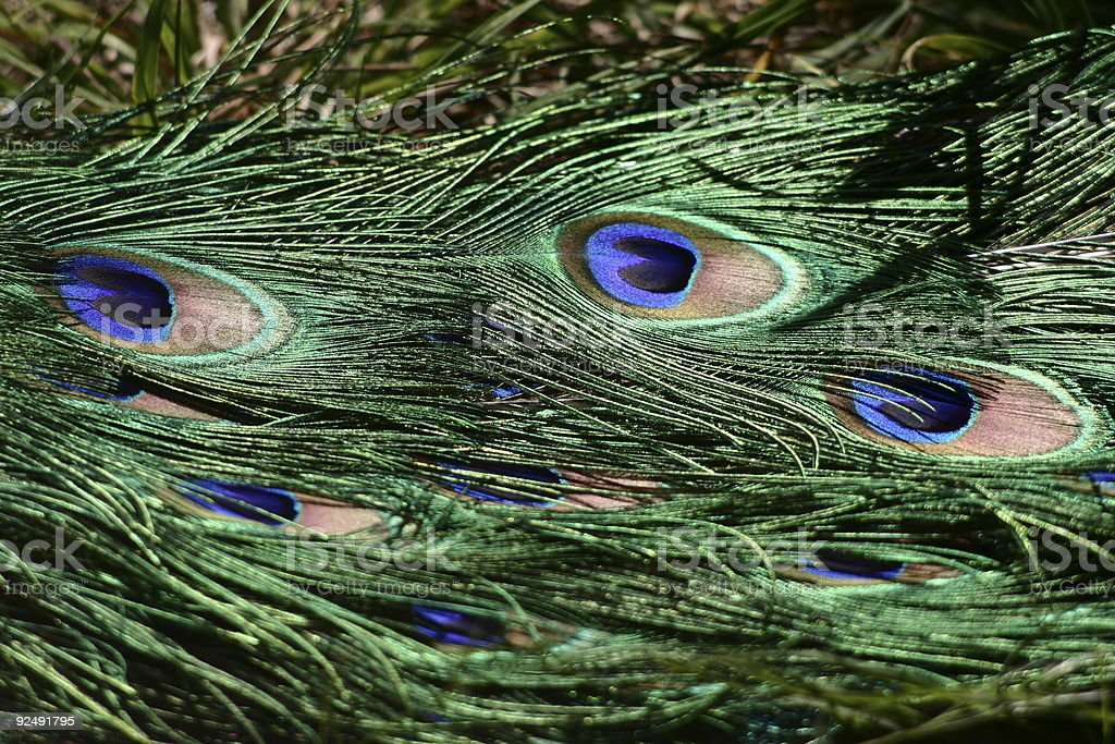 Peacock tail royalty-free stock photo