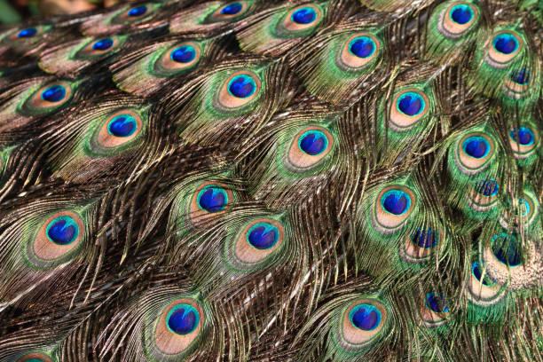 Peacock train feather stock photo