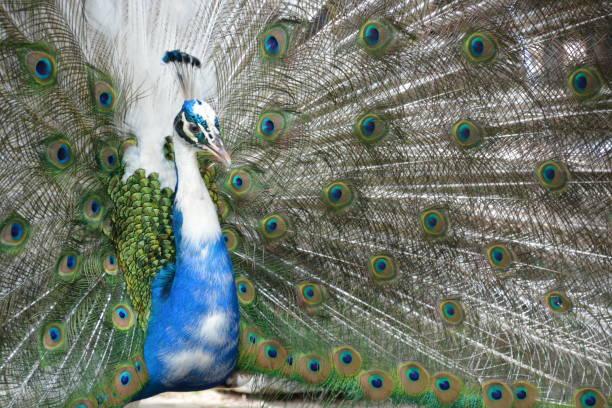 Pavo real con plumas extendidas - foto de stock