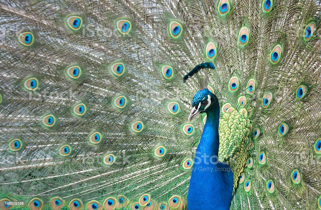 A peacock with his tail fully displayed  stock photo
