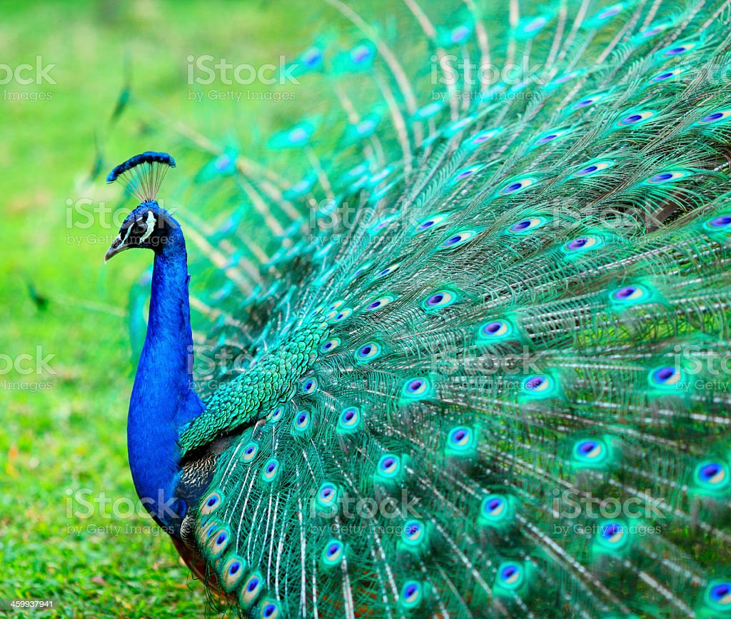 Peacock with its feathers spread out with blues and greens stock photo