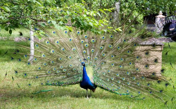 Pfau mit offenem Schwanz unter dem grünen Baum im öffentlichen Park – Foto